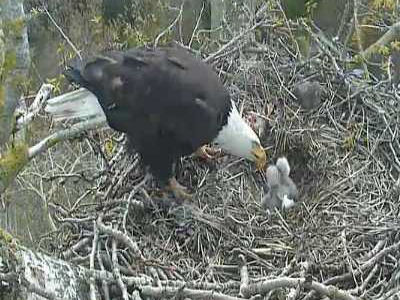 Two day-old chicks are being fed at the Delta 2 bald eagle nest in British Columbia