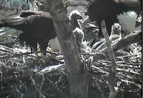 Both adults and all three chicks at the Lafarge nest - May 16 2012