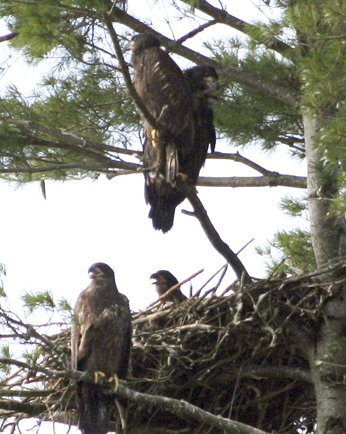 This photo released by the Maine Department of Inland Fisheries & Wildlife shows four bald eaglets in a single nest on Swan Island in the Kennebec River near Richmond, Maine. It is the first documented case of four eaglets in the same nest in the state's history.