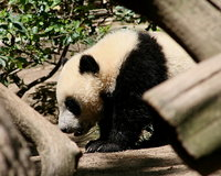 Pandas at the San Diego Zoo in California USA