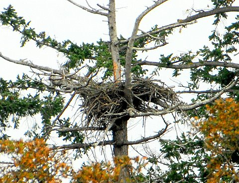 Harry's pic.  Second Saanich nest Oct 27