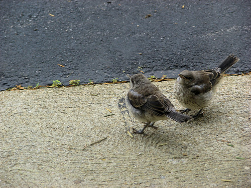 Two Mockingbird chicks
