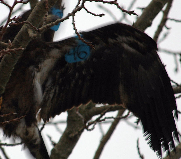 Same bird showing patagial blue marker #46