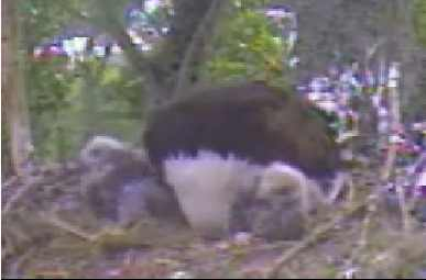 May 25 at 4:38 pm - Parent rooting around while eaglets watch
