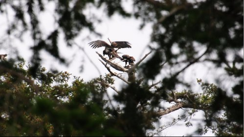 foto for video of eaglets