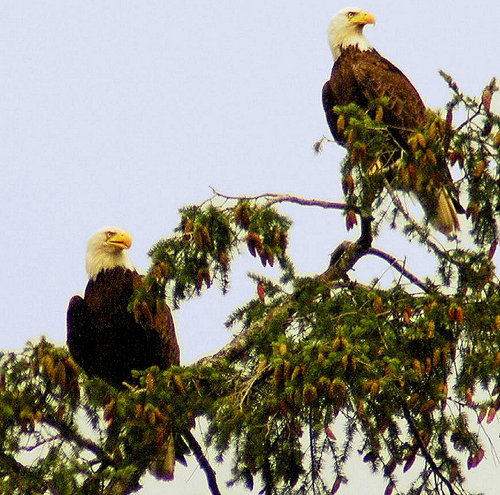 Saanich Ma and Pa Eagles