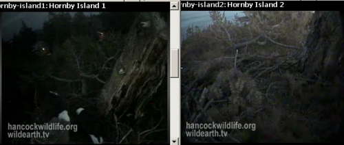 Two in the Hornby nest (c/u cam frozen)