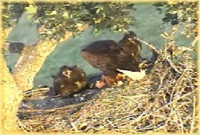 June 22: EAGLETS PEEP IMPATIENTLY WHILE MOM REMOVES THE FUR