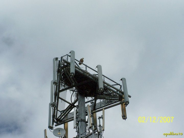 St. Petersburg, FL Bald Eagle Nest Cell Tower