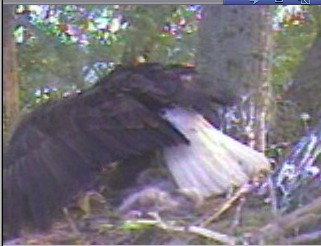 Delta 1 Parent protecting eaglets from a Blackbird.