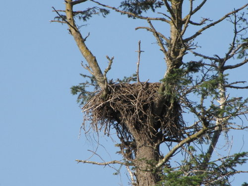 Another eagle's nest - West of King George Hwy