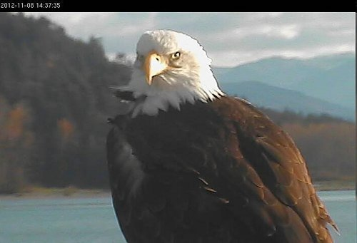And eagle is visiting the Tower