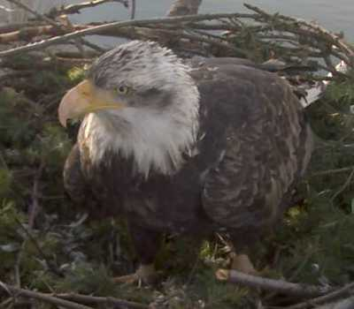 high res picture of 5-year sub-adult eagle