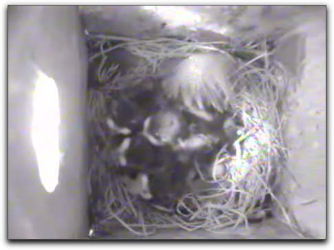 Swallows in nest