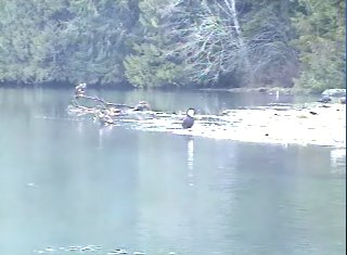 two eagles at goldstream