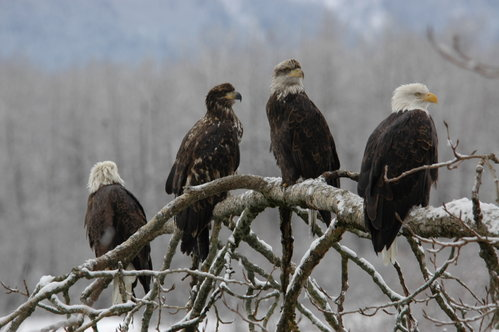 Group of Bald Eagles - lined up for a fish dinner
