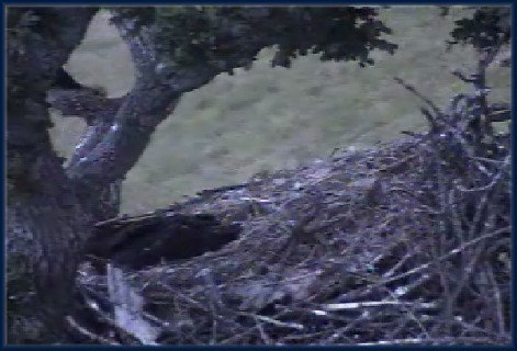 June 15: GONE TO BED - Mom's talon on the branch