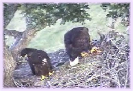 June 22: VICTORIA IS TOO INTENT WATCHING SOMETHING BELOW TO EAT.  Sidney is being fed by Mom.