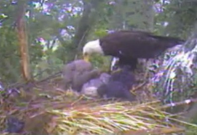 One Eaglet Getting Fed.