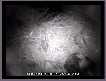 Blackwater nest...Is that a duck with the sleeping eagle>