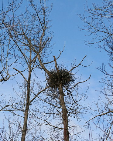 New nest on Wallace Drive in Brentwood Bay.  Old nest blew down in December 2010