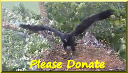 picture of eaglet flapping with link to donate