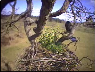 Eagle visits the nest on a windy afternoon