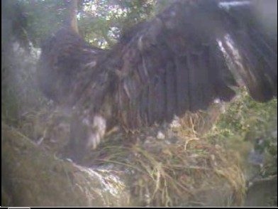 Delta eaglet flapping at the edge...branching?