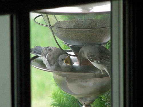 Mockingbird chick fed by parent in my feeder.