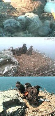Eaglets at the West End Nest, 2012