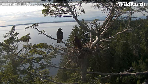 one eaglet branching July 1 2011