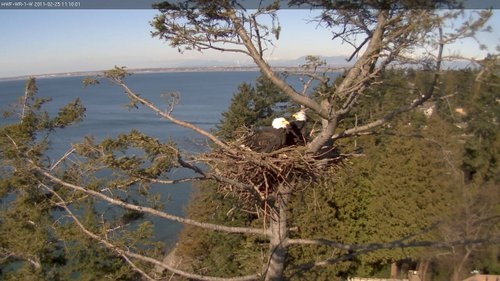 The White Rock Eagles in their nest - medium resolution direct from the camera - Wide Angle camera