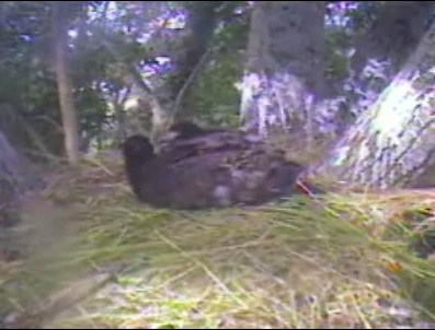 Eaglet Playing with Grass.