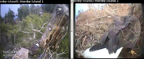 Hornby eagle busy in the nest.