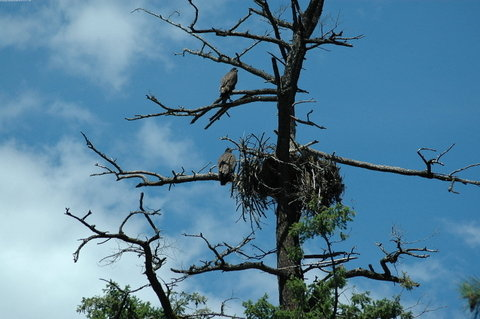 Eagle Nest with 2 Fledglings - Rear View