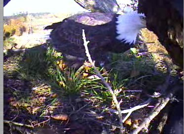 Standing on the nest Oct. 25