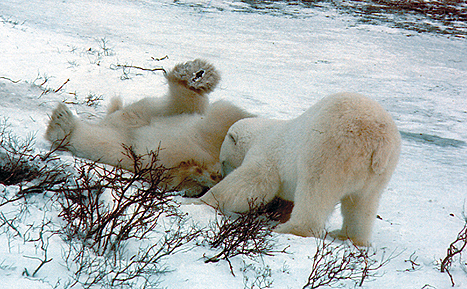 16 - Polar Bears Playing
