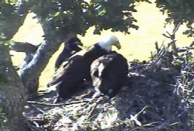10:12am - MOM IS STAYING WITH HER EAGLETS