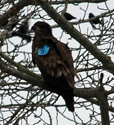 Juvenile Bald Eagle  # 46  -- where are you from.  WE are recording daily observations on this bird at the VAncouver Garbage Dump. WE would like to know the birds history. Is this A46 from Santa Cruz?