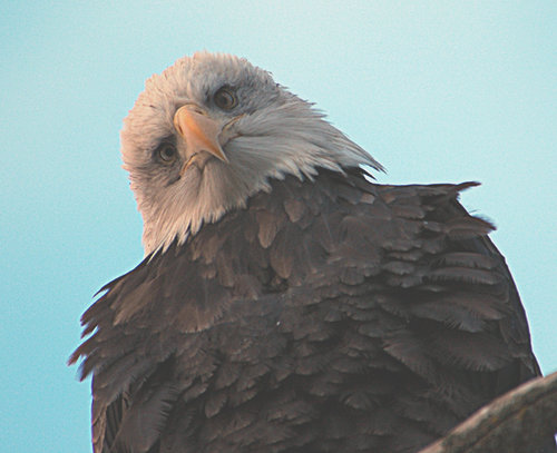Adult Bald Eagle -  watching intensively!