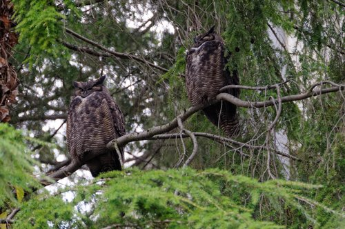 Great Horned Owls in the tree