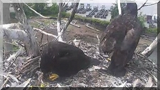 Eaglets and Mom