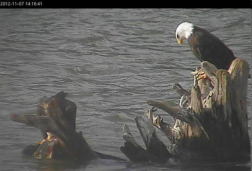 Eagle on the left is trying to eat salmon -and drag it up.