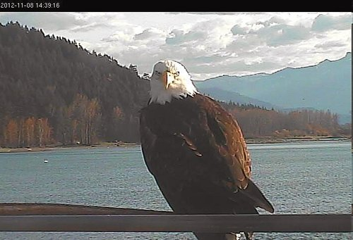 An eagle is visiting the Tower