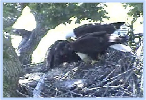 June 12: Both parents with eaglets