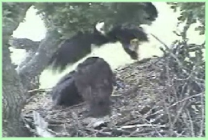 June 16: Eaglets are poised to grab prey
