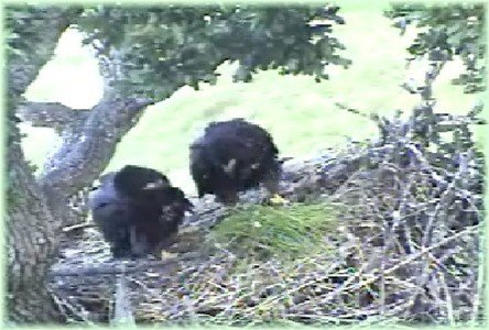 June 21: EAGLETS LOOK AT GRASS PARENT DROPPED OFF