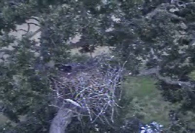 9:36pm - THE END OF AN EVENTFUL DAY - eaglets are sleeping together