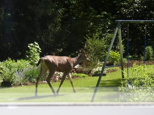 Deer checking out the swings