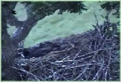 JUNE 4th - BEDTIME - Mom is on branch and eaglets playing with sticks.